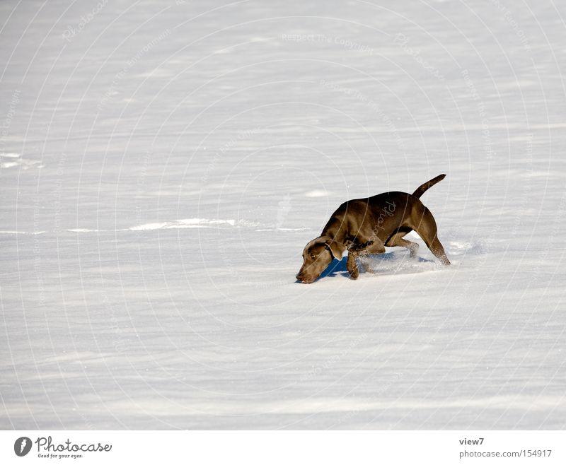 snow flurries Search Dog Odor Circle Weimaraner Winter Snow layer Pelt Fishing rod Nose Walking Racing sports Joy Mammal rummage