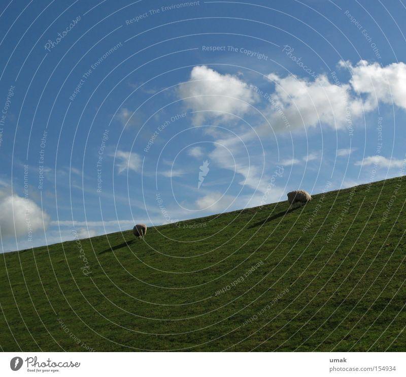 Sky Green Blue Clouds Meadow Pasture Sheep To feed Mammal Lamb Moorland sheep