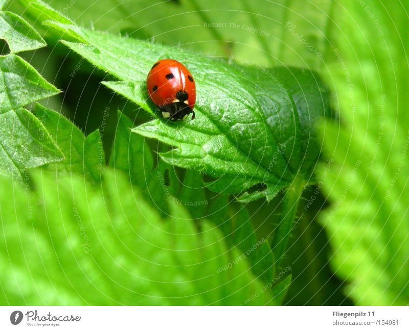 Ladybird on nettle 3 Nature Plant Leaf Animal 1 To enjoy Sharp-edged Thorny Green Red Contentment Stinging nettle Prongs Grass green Medicinal plant Weed