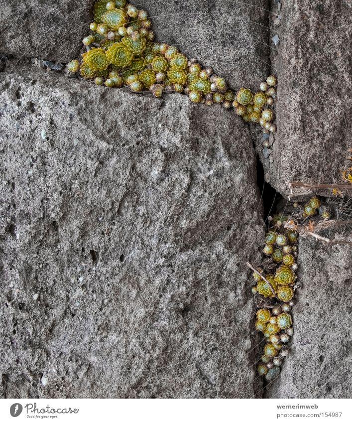 Stone Rock Appetite Dry Furrow Seam Survive Minerals Succulent plants