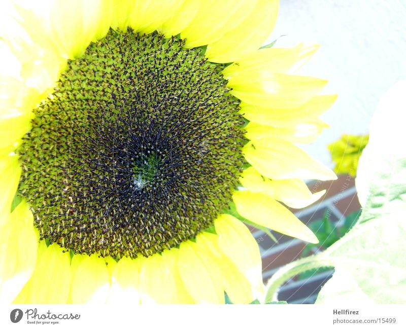 Yellow Dark Bright Sunflower Flower Macro (Extreme close-up)