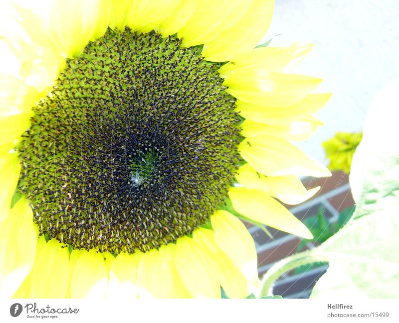 Yellow Dark Bright Sunflower Flower Macro (Extreme close-up)