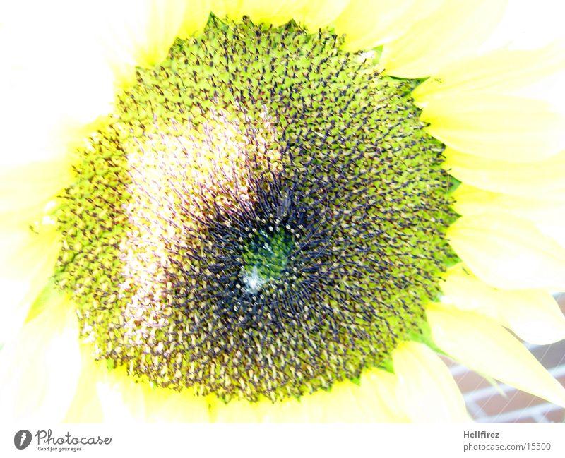 Sunflower [6] Yellow Dark Contrast Bright Macro (Extreme close-up)