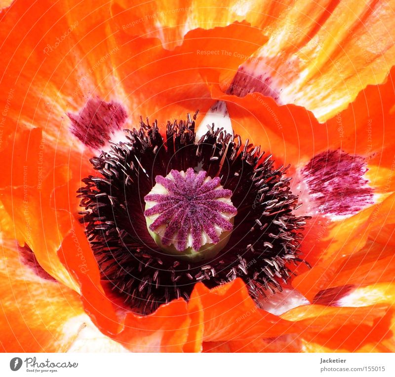 Flower Summer Colour Blossom Orange Poppy Pistil Blossom leave