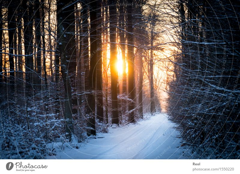 winter light Environment Nature Landscape Plant Sun Sunrise Sunset Sunlight Winter Beautiful weather Snow Forest Beech wood Undergrowth Relaxation Orange Black