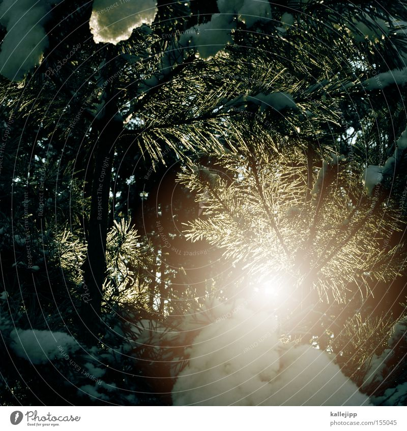 Tree Sun Winter Forest Cold Snow Warmth Ice Frost Fir tree Twig Sunlight Fir needle Thaw