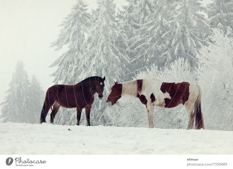 one laughed his head off Winter Snow Tree Forest Farm animal Horse 2 Animal Funster Joke Pinto Bay (horse) Communicate Laughter Stand Together Brown White Joy