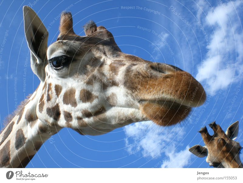Sky Blue Clouds Animal Large Ear Zoo Mammal Snout Giraffe
