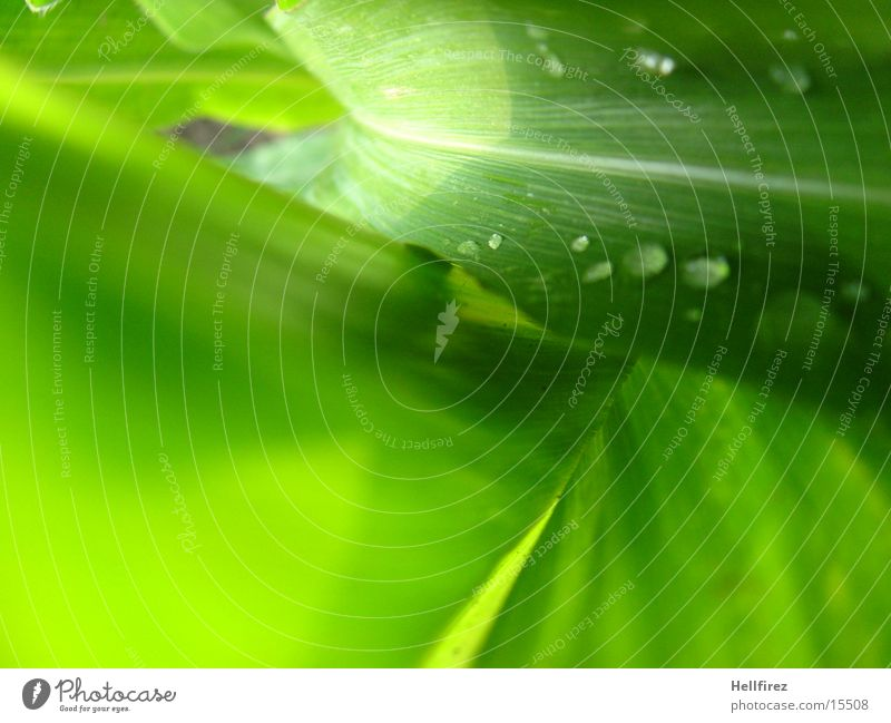 Bizarre Forms Leaf Green Flashy Silhouette Drops of water Maize Profile