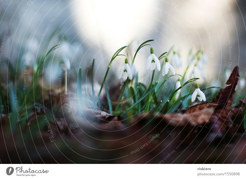 Nature Plant Green White Flower Forest Environment Spring Blossoming Snowdrop