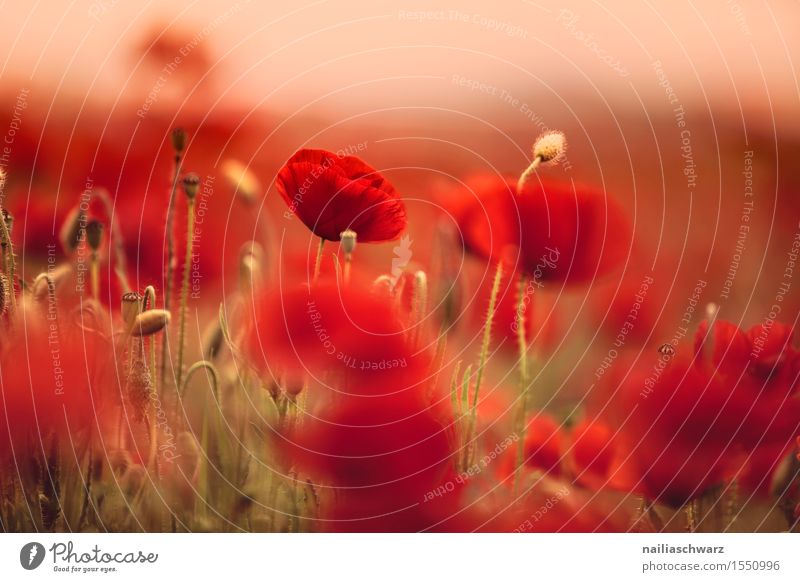 Nature Plant Summer Beautiful Landscape Red Environment Blossom Meadow Field Idyll Romance Many Poppy Wild plant Intensive