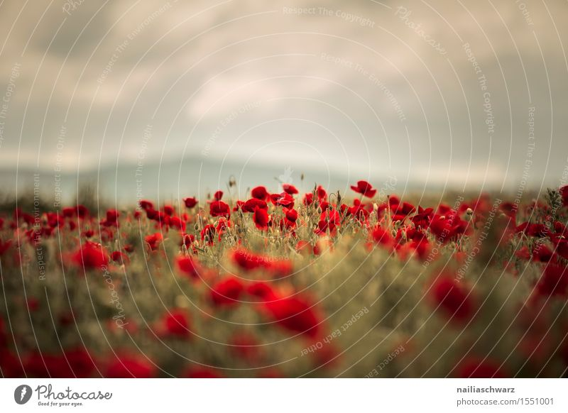 Plant Colour Summer Flower Landscape Red Blossom Spring Meadow Field Idyll Blossoming Joie de vivre (Vitality) Many Pure Poppy