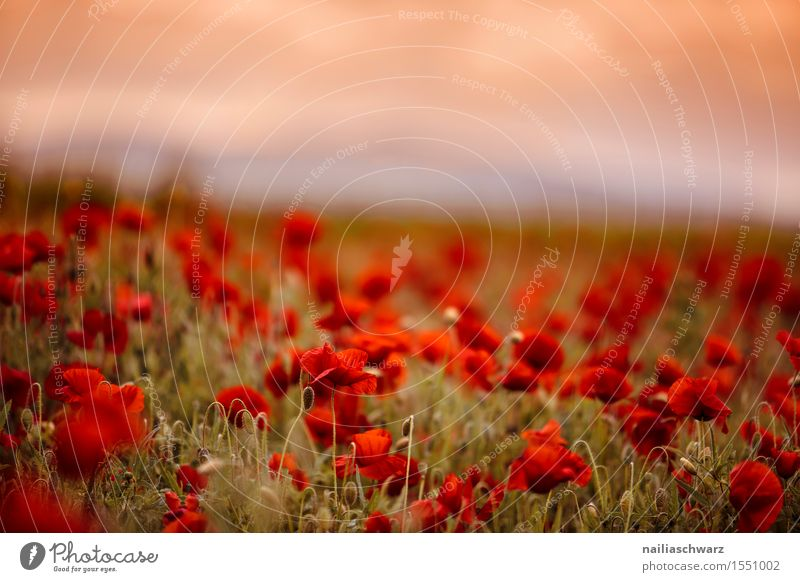 Nature Plant Summer Flower Landscape Red Blossom Meadow Field Idyll Many Poppy Intensive Poppy field Poppy blossom Corn poppy