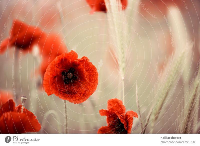 Poppy gossip in spring Summer Landscape Meadow Field Many Red Idyll Corn poppy poppy meadow Poppy field Intensive red poppy papaver encapsulate