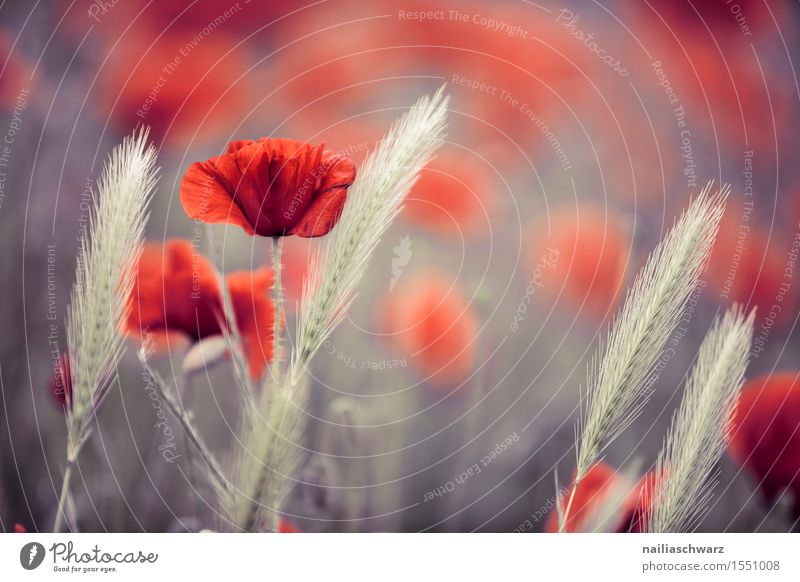 Nature Plant Summer Flower Landscape Red Autumn Meadow Field Idyll Many Grain Poppy Agricultural crop Ear of corn Wild plant