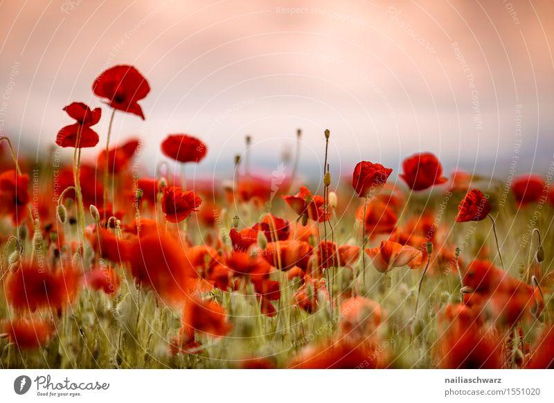 Summer Flower Landscape Red Spring Meadow Field Idyll Many Poppy Intensive Poppy field Poppy blossom Corn poppy Rhineland-Palatinate