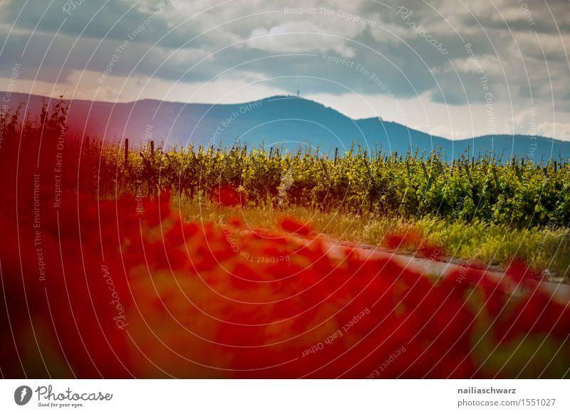 Nature Plant Summer Flower Landscape Red Meadow Field Idyll Many Poppy Vineyard Intensive Poppy field Poppy blossom Corn poppy