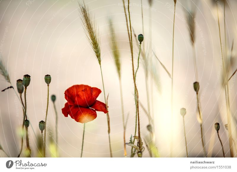 Nature Summer Flower Landscape Red Blossom Spring Meadow Field Idyll Many Poppy Intensive Poppy field Poppy blossom Corn poppy