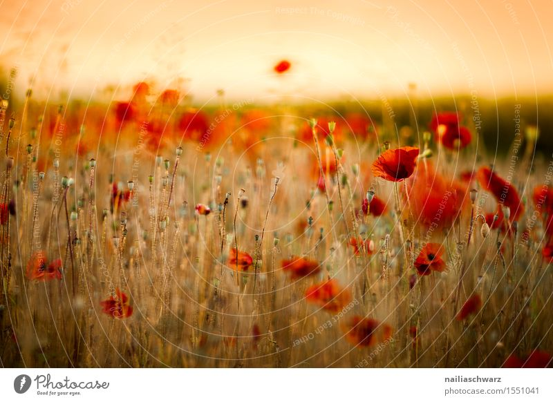 Plant Summer Flower Landscape Red Blossom Spring Meadow Field Idyll Many Poppy Intensive Poppy field Poppy blossom Corn poppy