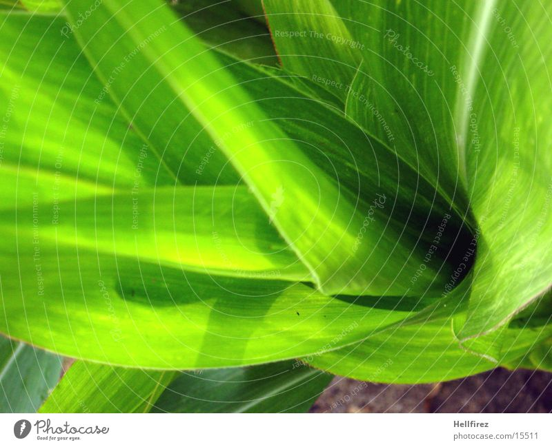 Green Leaf Flashy Maize