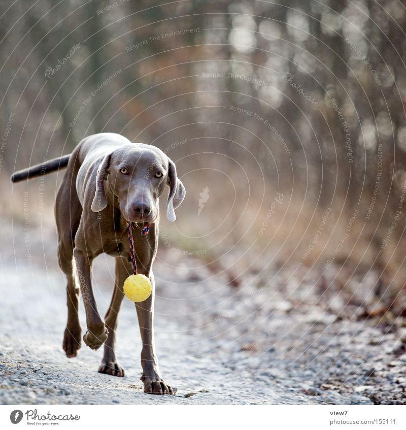 The dog I like ... Retrieve Carrying Wear Search Dog Odor Bring Weimaraner Pride Pelt Ball Nose Walking Autumn Forest Lanes & trails Mammal Joy