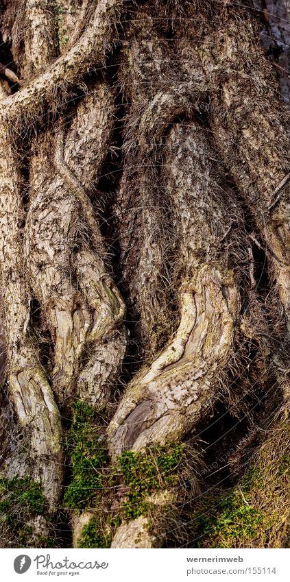 Garden Park Climbing Virgin forest Tree trunk Moss Muddled Tree bark Root Ivy Stick Loop Creeper Headstrong Wrestling Liana