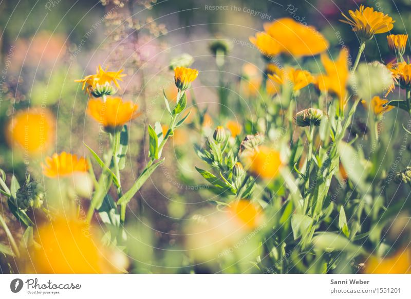 summer blossom Nature Plant Animal Earth Sunlight Summer Beautiful weather Flower Blossom Foliage plant Garden Blossoming Fragrance Yellow Green Violet Pink