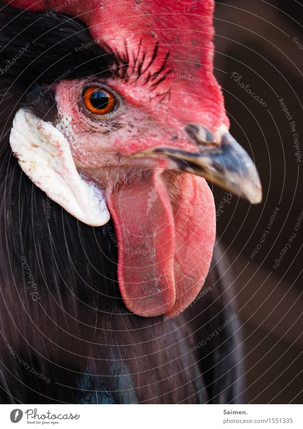 Nature Red Animal Black Eyes Natural Elegant Esthetic Feather Observe Might Protection Watchfulness Considerate Self-confident Beak