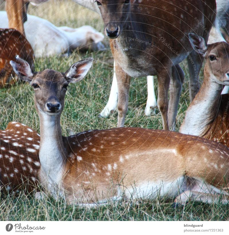Fully REHabilitated Roe deer stag Fallow deer Pelt points blotch Colour photo Deserted Forest Brown Mammal Wild animal Exterior shot Nature Animal
