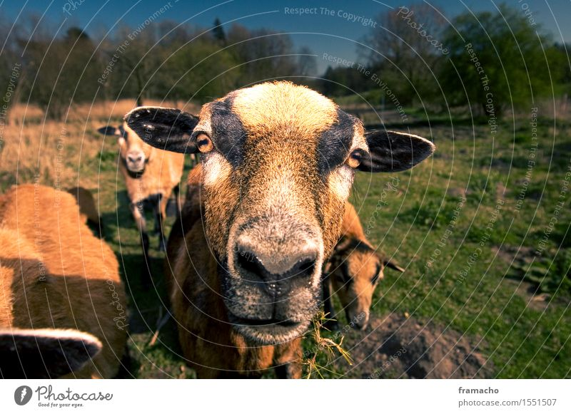 Cameroon 2 Environment Nature Landscape Plant Animal Earth Sky Cloudless sky Spring Beautiful weather Grass Meadow Farm animal Animal face Pelt Sheep Flock