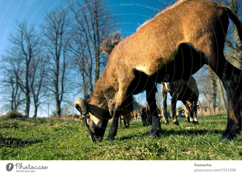 Cameroonian Trip Nature Landscape Plant Animal Sky Cloudless sky Spring Beautiful weather Grass Meadow Farm animal Pelt Sheep Group of animals Herd To feed
