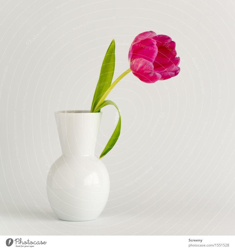 tulip² Plant Flower Tulip Leaf Blossom Green Pink White Spring fever Vase Blossoming Colour photo Studio shot Deserted