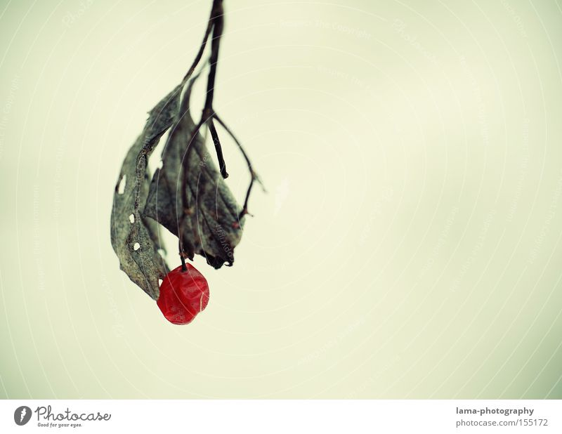 Red Winter Leaf Loneliness Snow Autumn Ice Fruit Nature Branch Berries Bunch of grapes Delicate Limp Rawanberry