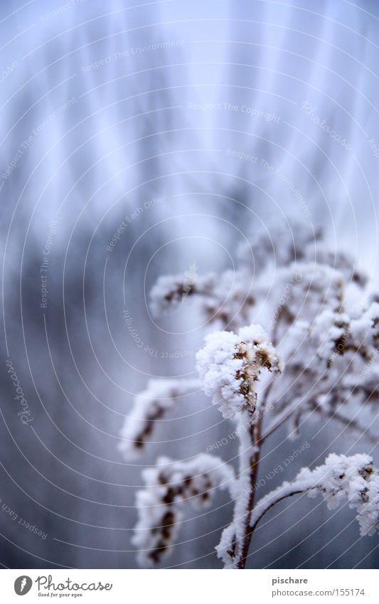 Blue Winter Snow Lighting Ice Frost Branch Bud Hoar frost