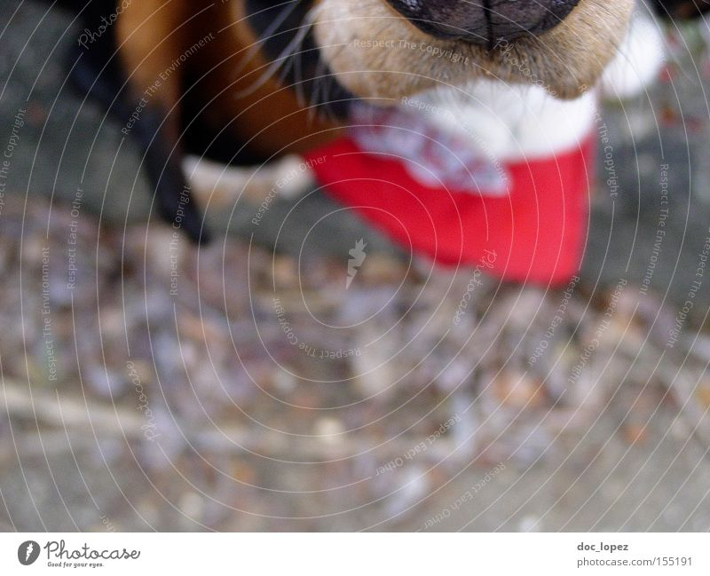 Obey the Basset Dog Animal Neckerchief Snout Perspective Partially visible Snapshot Mammal Basset Hound depth blur man's faithful friend