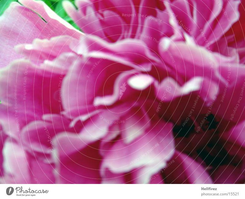 flowerage Flower Pink Spring face Macro (Extreme close-up)