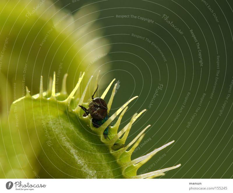 fat prey Venus' flytrap Dangerous Green Death Transience Plant Carnivorous plants attractant Thorn Threat Turkish Exotic
