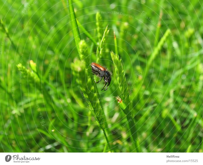 Grass Blade of grass Beetle Bow