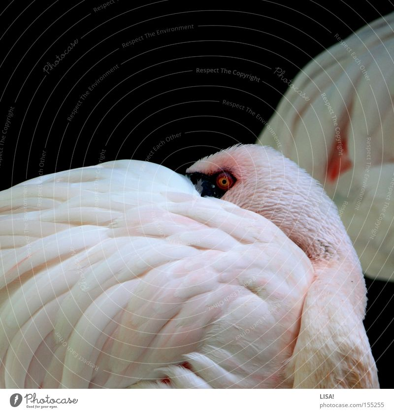 flamingo before flamingo Looking Calm Animal Bird Flamingo Sleep Pink White Break Feather