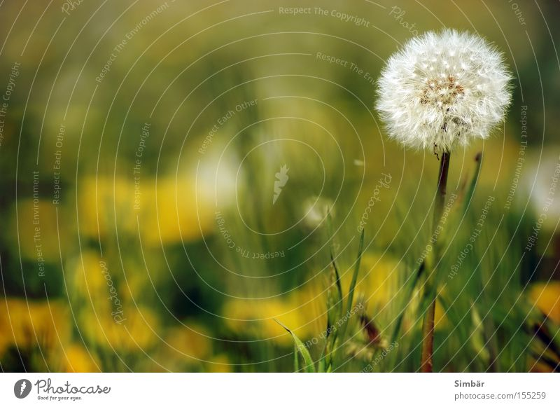 Nature White Flower Summer Life Meadow Bright Decoration Dandelion Seasons Seed Embellish Holiday season