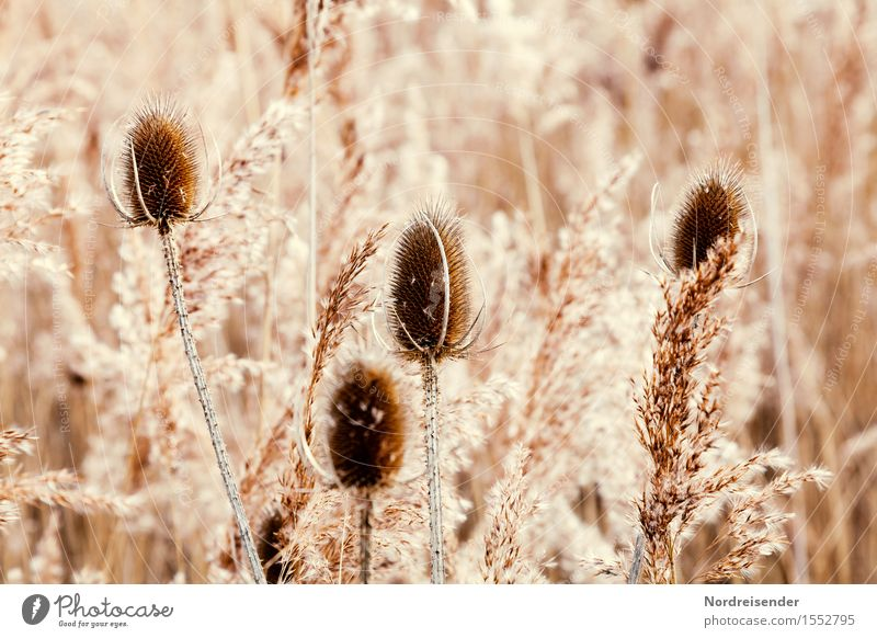 Winter in the Moor Harmonious Senses Nature Plant Grass Wild plant Bog Marsh To dry up Brown Pure Transience Change Monochrome Thistle Common Reed reed grass