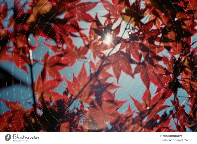 ray of hope Leaf Red Sky Sun Maple tree Summer Light Structures and shapes Lomography
