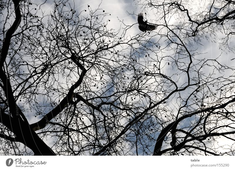 Sky Joy Winter Clouds Freedom Bird Flying Branch Twig Deciduous tree Raven birds American Sycamore