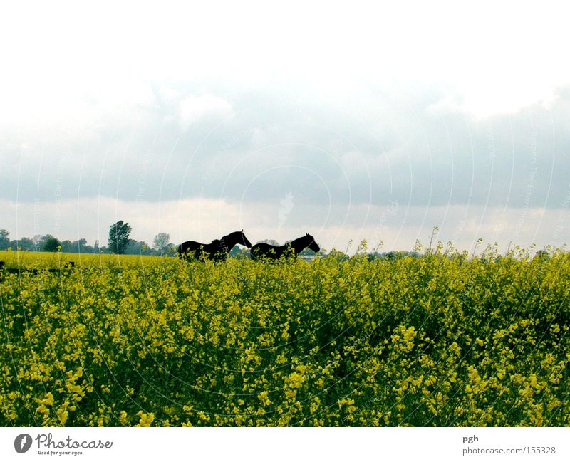 Where are they running? Canola Horse Canola field Freedom Leisure and hobbies Vacation & Travel Field Oilseed rape oil Organic farming Plant Agriculture Sowing