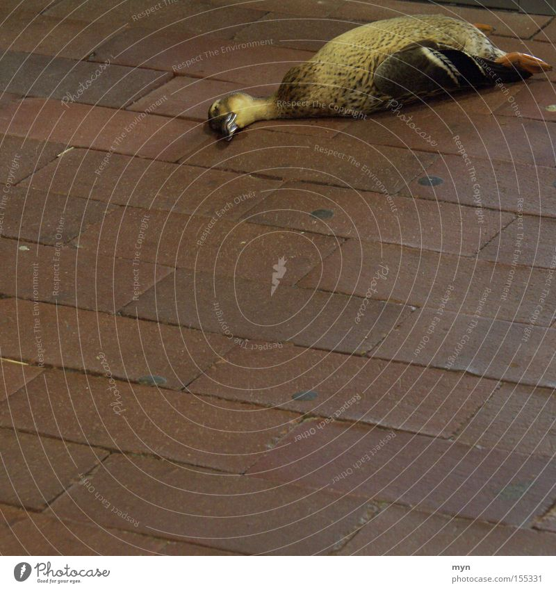 duck Animal Wild animal Dead animal Bird Wing 1 Sadness Grief Death Elegant End Transience Duck Drake Duckling Murder Crime scene Corpse Cobblestones