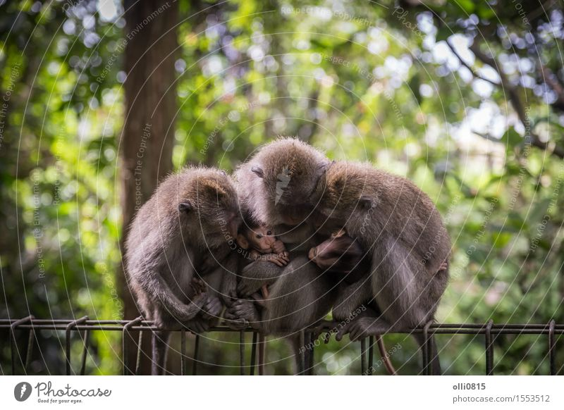 Monkey Family Child Nature Animal Tree Forest Virgin forest monkey Group of animals Love Sit Cute Wild Gray Protection Apes Asia Bali Strange Expression