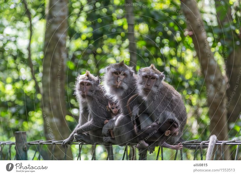 Monkey Family Nature Animal Forest Virgin forest Ubud Monkeys Love Sit Cute Wild Gray Protection Apes Asia Bali Strange Expression Indonesia macaque Mammal