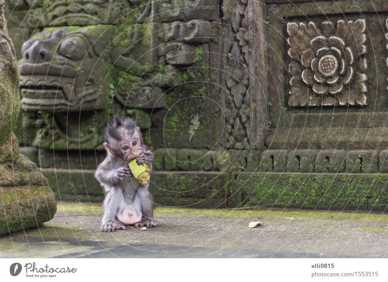Baby Monkey eating Fruit Eating Nature Animal Ubud Monkeys Small Funny Cute Wild Brown Loneliness Vacation & Travel Apes Asia Bali food kid Temple wildlife