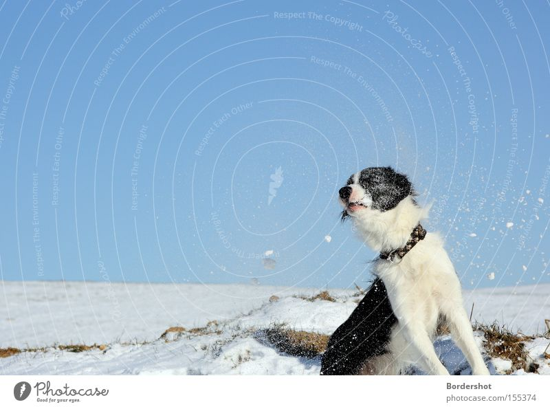 direct hits Dog Snow Action Funny Strike Blue sky Winter's day Winter walk Wet Cold White Frost Exterior shot Mammal border collie fun