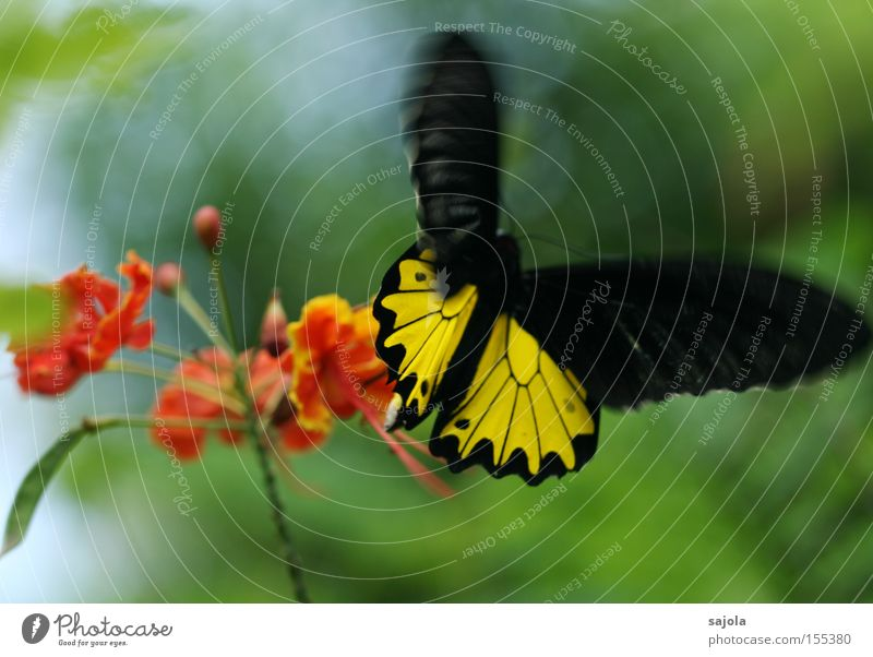 movement in the game Aviation Flower Blossom Butterfly Wing Movement Flying Yellow Black Orange Insect Dynamics Judder Unreliable Delicate Colour photo